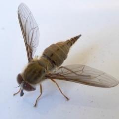 Trichophthalma punctata (Tangle-vein fly) at Rugosa at Yass River - 21 Feb 2021 by SenexRugosus