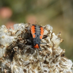 Unidentified Other bug (TBC) at Cotter River, ACT - 19 Feb 2021 by MatthewFrawley