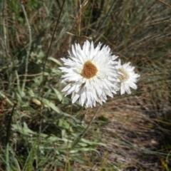 Leucochrysum alpinum (TBC) at Cotter River, ACT - 19 Feb 2021 by MatthewFrawley