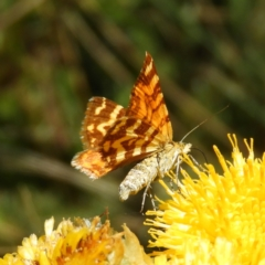 Chrysolarentia chrysocyma (Small Radiating Carpet) at Cotter River, ACT - 20 Feb 2021 by MatthewFrawley