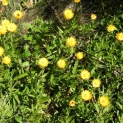 Xerochrysum subundulatum (Alpine everlasting) at Cotter River, ACT - 20 Feb 2021 by MatthewFrawley