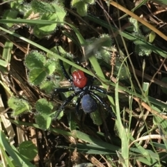 Missulena occatoria (Red-headed Mouse Spider) at Oakey Hill - 21 Feb 2021 by LOz