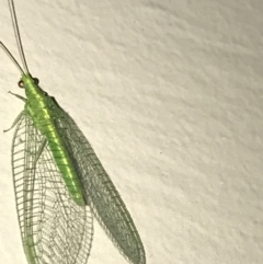 Chrysopidae sp. (family) (Unidentified Green lacewing) at Garran, ACT - 18 Feb 2021 by Tapirlord