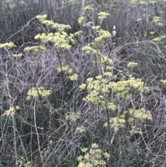 Foeniculum vulgare (Fennel) at Point One - 20 Feb 2021 by Tapirlord