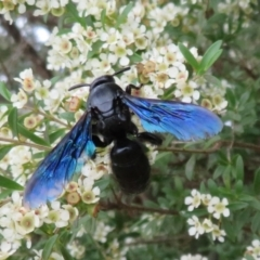 Austroscolia soror (Blue-winged flower wasp) at Dunlop, ACT - 19 Feb 2021 by Christine