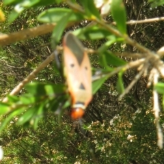 Dysdercus sidae (Pale Cotton Stainer) at Dunlop, ACT - 19 Feb 2021 by Christine