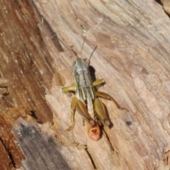 Kosciuscola cognatus (A grasshopper) at Bimberi Nature Reserve - 19 Feb 2021 by Christine