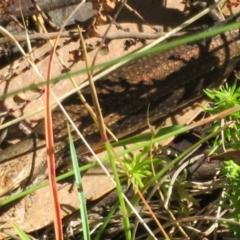 Pseudemoia entrecasteauxii (Woodland Tussock-skink) at Namadgi National Park - 20 Feb 2021 by Christine