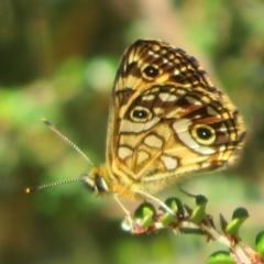 Oreixenica lathoniella (Silver Xenica) at Namadgi National Park - 20 Feb 2021 by Christine