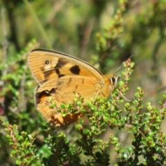 Heteronympha penelope (Shouldered Brown) at Namadgi National Park - 19 Feb 2021 by Christine