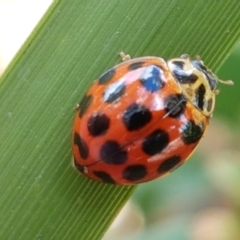 Harmonia conformis (Common Spotted Ladybird) at City Renewal Authority Area - 22 Feb 2021 by tpreston