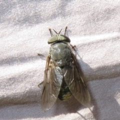 Tabanidae sp. (family) (Unidentified march or horse fly) at Bimberi Nature Reserve - 20 Feb 2021 by Christine