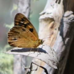 Heteronympha penelope (Shouldered Brown) at Namadgi National Park - 20 Feb 2021 by Christine