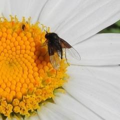 Geron nigralis (Slender bee fly) at Crooked Corner, NSW - 22 Feb 2021 by Milly