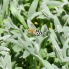 Amegilla sp. (genus) (Blue Banded Bee) at Macarthur, ACT - 22 Feb 2021 by RodDeb