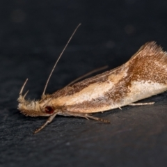 Thema psammoxantha (A concealer moth) at Melba, ACT - 10 Feb 2021 by Bron