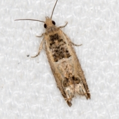 Spilonota constrictana (A Tortricid moth) at Melba, ACT - 10 Feb 2021 by Bron