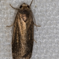 Athetis tenuis (A Noctuid moth) at Melba, ACT - 10 Feb 2021 by Bron