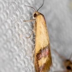 Coeranica isabella (A Concealer moth) at Melba, ACT - 10 Feb 2021 by Bron