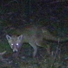 Vulpes vulpes (Red Fox) at Rob Roy Range - 16 Feb 2021 by ChrisHolder