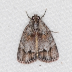 Spectrotrota fimbrialis (A Pyralid moth) at Melba, ACT - 9 Feb 2021 by Bron