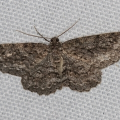 Ectropis fractaria (Ringed Bark Moth) at Melba, ACT - 10 Feb 2021 by Bron