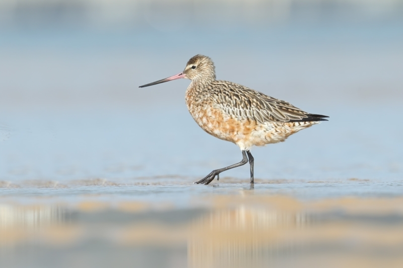 Limosa lapponica at Pambula - 21 Feb 2021