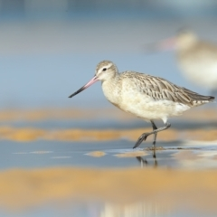 Limosa lapponica (Bar-tailed Godwit) at Pambula - 20 Feb 2021 by Leo