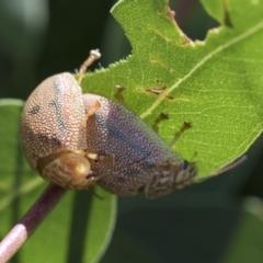 Paropsis atomaria (Eucalyptus leaf beetle) at Higgins, ACT - 13 Feb 2021 by AlisonMilton