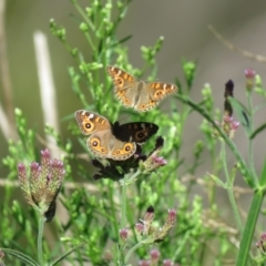 Junonia villida (Meadow Argus) at Bullen Range - 21 Feb 2021 by SandraH
