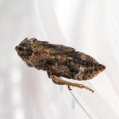 Stenocotis sp. (genus) (A Leafhopper) at Higgins, ACT - 13 Feb 2021 by AlisonMilton
