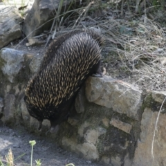 Tachyglossus aculeatus (Short-beaked Echidna) at ANBG - 11 Feb 2021 by AlisonMilton