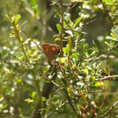 Paralucia aurifer (Bright Copper) at Tidbinbilla Nature Reserve - 7 Jan 2021 by Liam.m