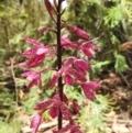 Dipodium punctatum at Tidbinbilla Nature Reserve - 7 Jan 2021
