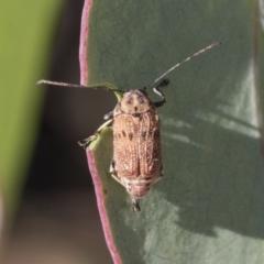 Cadmus sp. (genus) (Unidentified Cadmus leaf beetle) at Black Mountain - 10 Feb 2021 by AlisonMilton