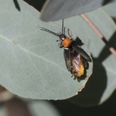 Chauliognathus tricolor (Tricolor soldier beetle) at Acton, ACT - 10 Feb 2021 by AlisonMilton