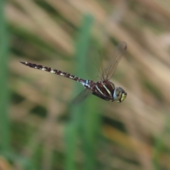 Adversaeschna brevistyla (Blue-spotted Hawker) at Jerrabomberra Wetlands - 22 Feb 2021 by roymcd