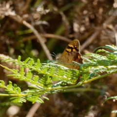 Heteronympha banksii (Banks' Brown) at Tidbinbilla Nature Reserve - 22 Feb 2021 by DPRees125