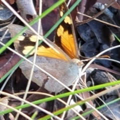 Heteronympha merope (Common Brown) at Mount Painter - 21 Feb 2021 by drakes