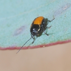 Unidentified Leaf beetle (Chrysomelidae) (TBC) at Tinderry Nature Reserve - 20 Feb 2021 by Harrisi