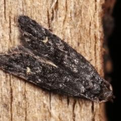 Bondia nigella (A Fruitworm moth (Family Carposinidae)) at Melba, ACT - 19 Feb 2021 by kasiaaus