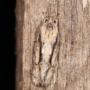 Agriophara dyscapna at Melba, ACT - 20 Feb 2021