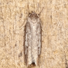 Oecophorinae (subfamily) (Unidentified Oecophorinae concealer moth) at Melba, ACT - 19 Feb 2021 by kasiaaus