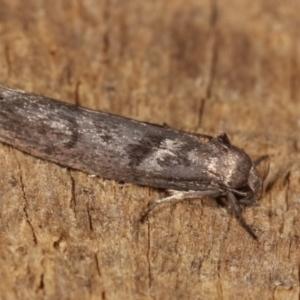 Oenochroa and Artiastis (genera) at Melba, ACT - 20 Feb 2021