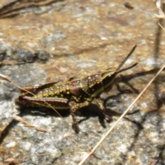 Monistria concinna (Southern Pyrgomorph, Southern Gaudy Grasshopper) at Namadgi National Park - 20 Feb 2021 by Christine