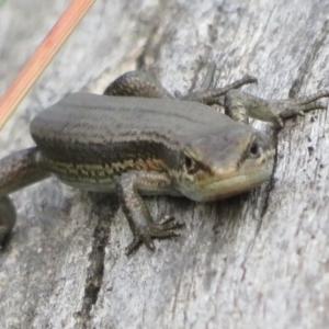Pseudemoia entrecasteauxii at Namadgi National Park - 20 Feb 2021