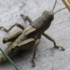 Percassa rugifrons (Mountain Grasshopper) at Namadgi National Park - 20 Feb 2021 by Christine