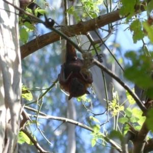 Pteropus scapulatus at Padman/Mates Park - 22 Feb 2021