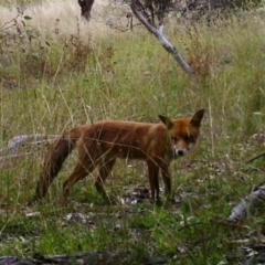 Vulpes vulpes (Red Fox) at Mcquoids Hill - 22 Feb 2021 by ChrisHolder