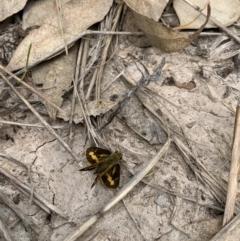 Ocybadistes walkeri (Greenish Grass-dart) at Ginninderry Conservation Corridor - 23 Feb 2021 by Eland